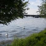 Neckar Ufer Ladenburg Schwan