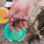 Neckar Ufer Windhof Parasitenfisch aus dem schwarzen Meer